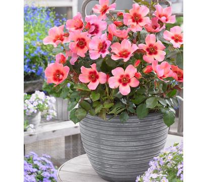 Persische Rosen in verschiedenen Sorten