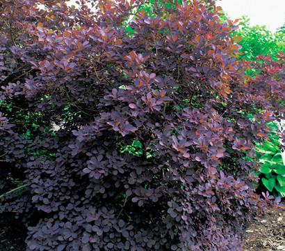 per ckenstrauch 39 royal purple 39 30 50 cm dehner garten. Black Bedroom Furniture Sets. Home Design Ideas