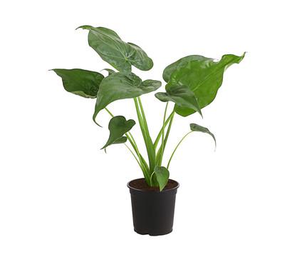 Pfeilblatt - Alocasia cucullata