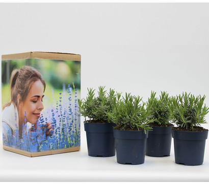 Pflanzenpaket Duft-Lavendel 'Felice', 4er Set