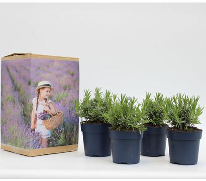 Pflanzenpaket Lavendel-Vielfalt, 4er Set