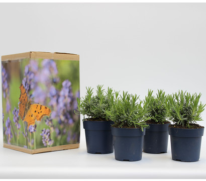 Pflanzenpaket Schmetterlings-Lavendel 'Royal Blue', 4er Set