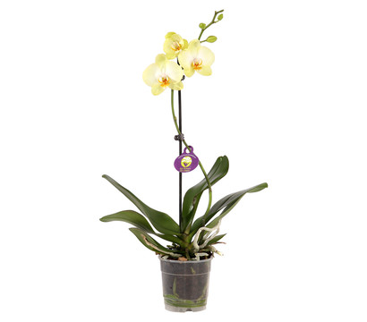 phalaenopsis 1 trieber mix dehner garten center. Black Bedroom Furniture Sets. Home Design Ideas