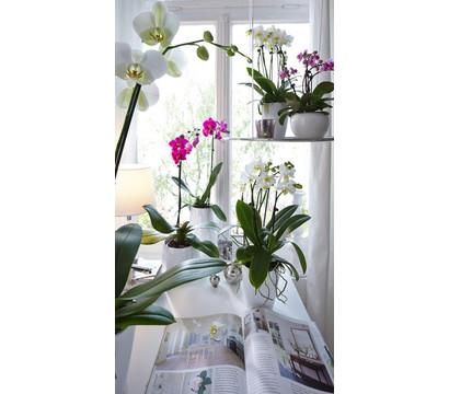 phalaenopsis 1 trieber mix dehner garten center. Black Bedroom Furniture Sets. Home Design Ideas