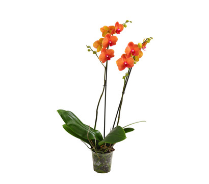 phalaenopsis 2 trieber orange dehner garten center. Black Bedroom Furniture Sets. Home Design Ideas