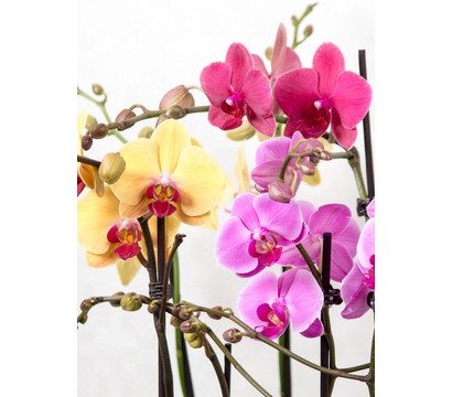 phalaenopsis 2 trieber dehner garten center. Black Bedroom Furniture Sets. Home Design Ideas