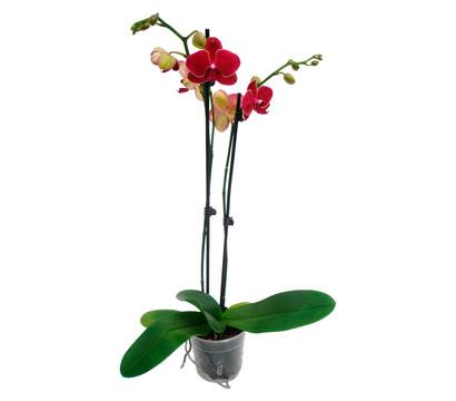 phalaenopsis 2 trieber dehner garten center. Black Bedroom Furniture Sets. Home Design Ideas