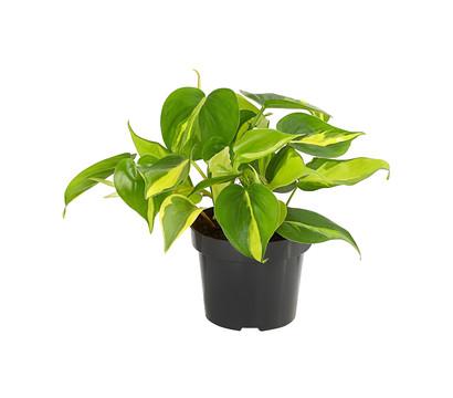 Philodendron - Baumfreund 'Brasil'