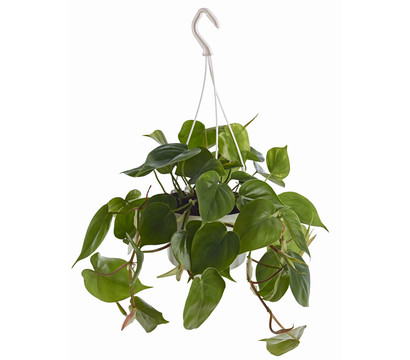 Philodendron, Ampel
