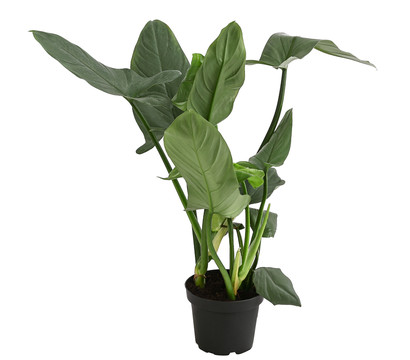 Philodendron 'Grey'