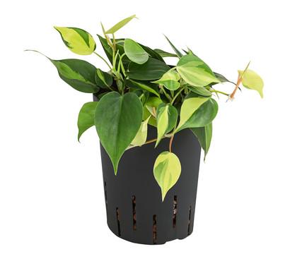 Philodendron, Hydrokultur