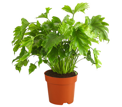 Philodendron 'Little Hope'