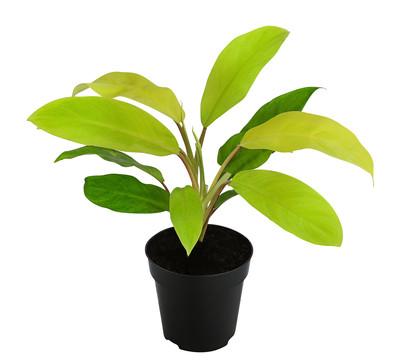 Philodendron 'Malaya Gold'