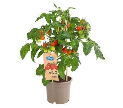 Pick-a-Tom® Pflaumentomate, mit Frucht