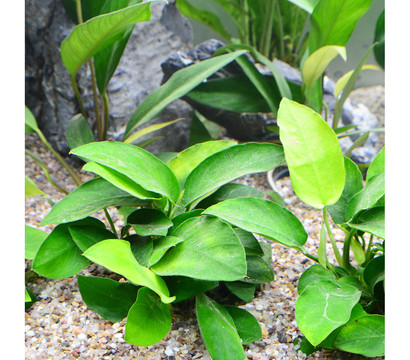 planet plants afrika set ab 150 liter aquarium pflanzen dehner garten center. Black Bedroom Furniture Sets. Home Design Ideas