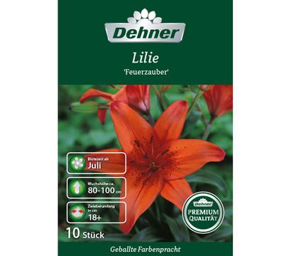 Premium Lilien 'Feuerzauber', Blumenzwiebel von Dehner