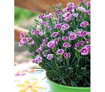 Prinzess nelke 39 pink kisses 39 schale dehner garten center - Duftende gartenpflanze ...