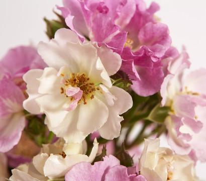 Ramblerrosen, verschiedene Sorten
