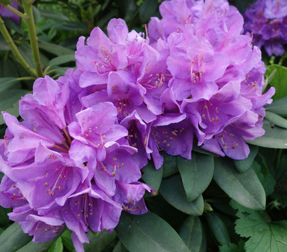 Rhododendron, Alpenrose