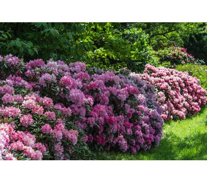rhododendron alpenrose dehner garten center. Black Bedroom Furniture Sets. Home Design Ideas