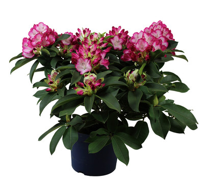 Rhododendron 'Mega'