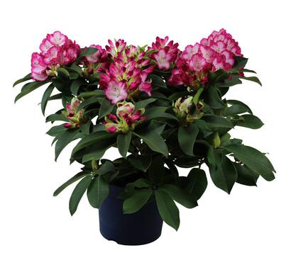rhododendron 39 mega 39 dehner. Black Bedroom Furniture Sets. Home Design Ideas