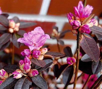 rhododendron 39 p j mezitt 39 dehner garten center. Black Bedroom Furniture Sets. Home Design Ideas