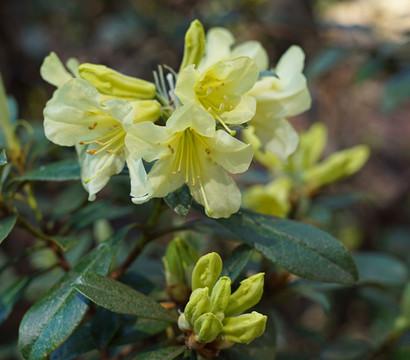 Rhododendron 'Princess Anne'