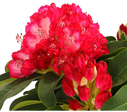 Rhododendron 'Super Mega'