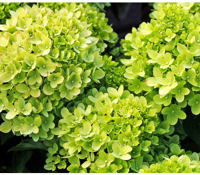 Rispen-Hortensie 'Little Lime'®