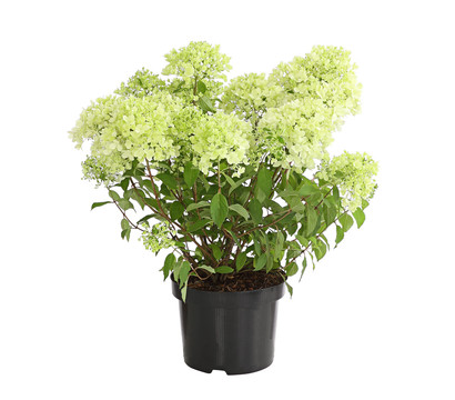 Rispen-Hortensie 'Magical Candle'