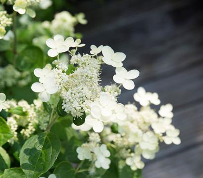 Rispen-Hortensie 'Prim White'