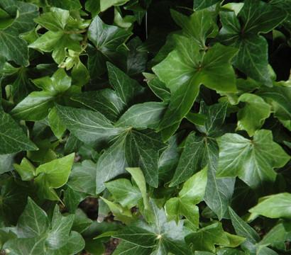 Roggenburger kloster efeu 39 green faether 39 dehner garten for Green pflanzen