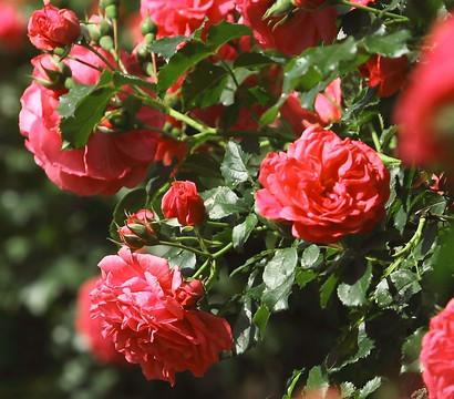 Rose 'Heidetraum', Hochstamm