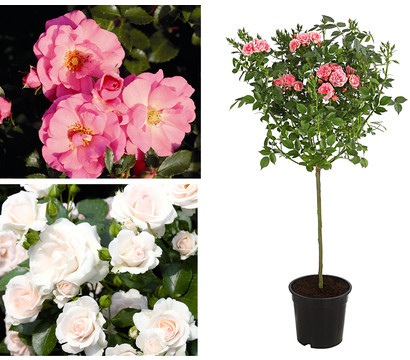 """Rosenpaket """"Pflegeleichte Bodendeckerrosen-Stämmchen Rosa-Weiß"""", 2er Set"""