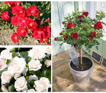"""Rosenpaket """"Pflegeleichte Bodendeckerrosen-Stämmchen Rot-Weiß"""", 2er Set"""