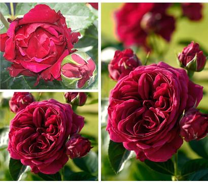 "Rosenpaket ""Rosenromantik"", 3er Set 'Marietta'®"