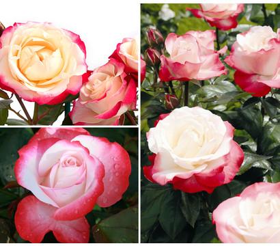 Rosenpaket