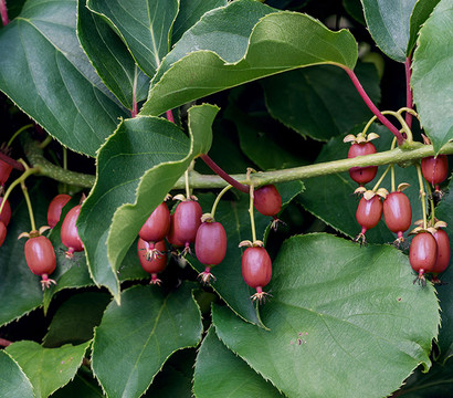 Rote Kiwi 'Kens Red'