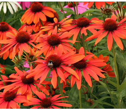 Roter Sonnenhut 'Orange Passion'