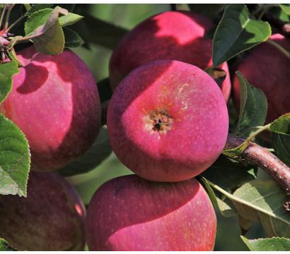 Rotfleischiger Apfel 'Rosette' ®