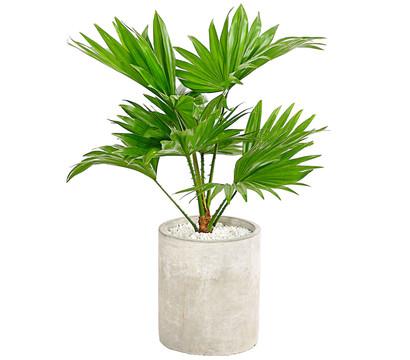 Rundblättrige Schirmpalme, in Vase