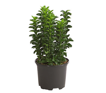 S ulen spindelstrauch 39 green rocket 39 dehner garten center for Green pflanzen