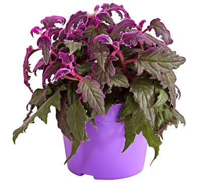 Samtpflanze
