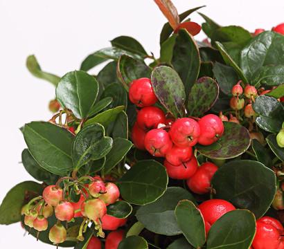 Scheinbeere rebhuhnbeere dehner - Duftende gartenpflanze ...