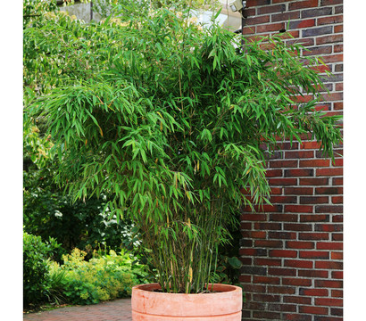 schirm bambus 39 jumbo 39 dehner garten center. Black Bedroom Furniture Sets. Home Design Ideas