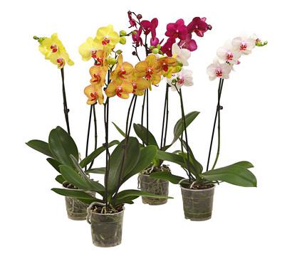 Schmetterlingsorchidee, 2-Trieber, Sortenmix