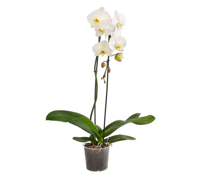 Schmetterlingsorchidee 'Cascade'