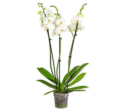 Schmetterlingsorchidee, großblütig, 3-4 Trieber