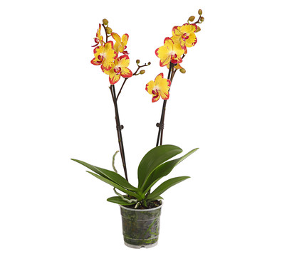 Schmetterlingsorchidee, Sonderfarben, 2-Trieber